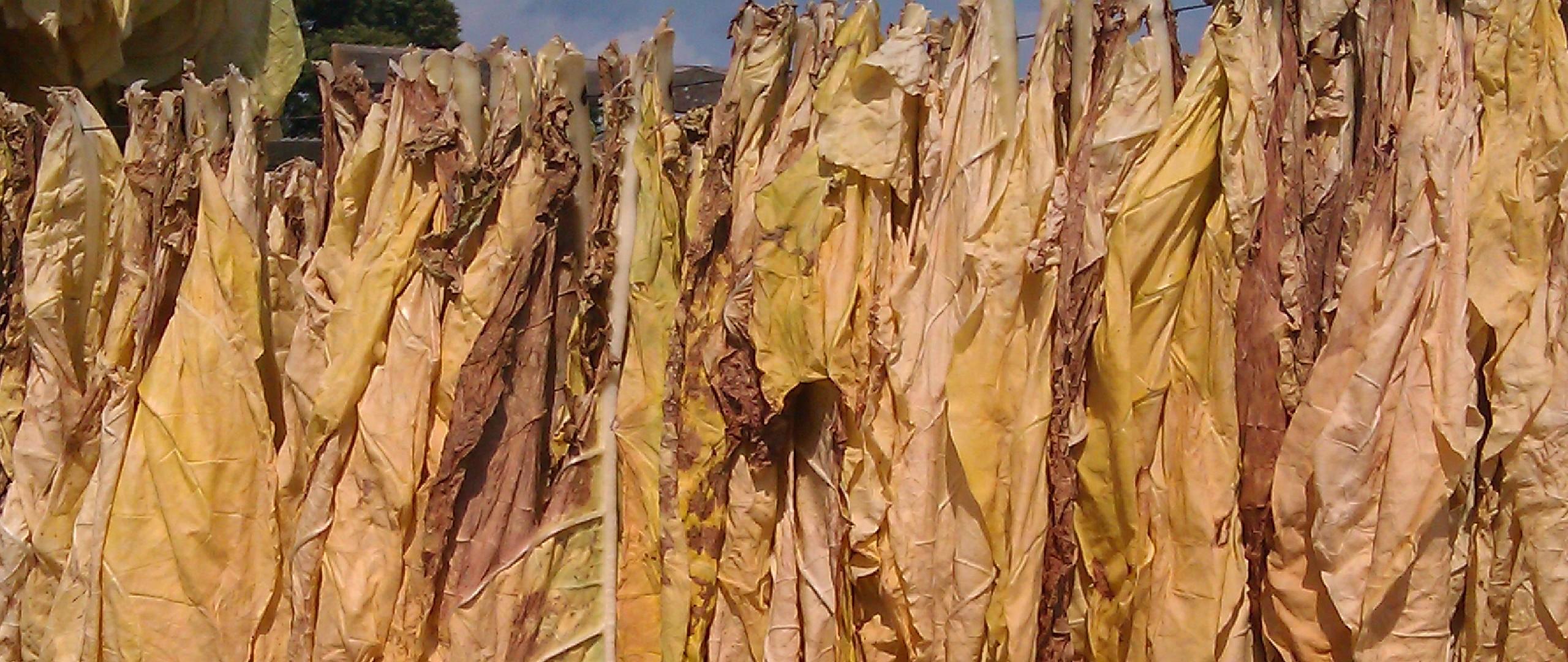 Pomoc dla producentów tytoniu