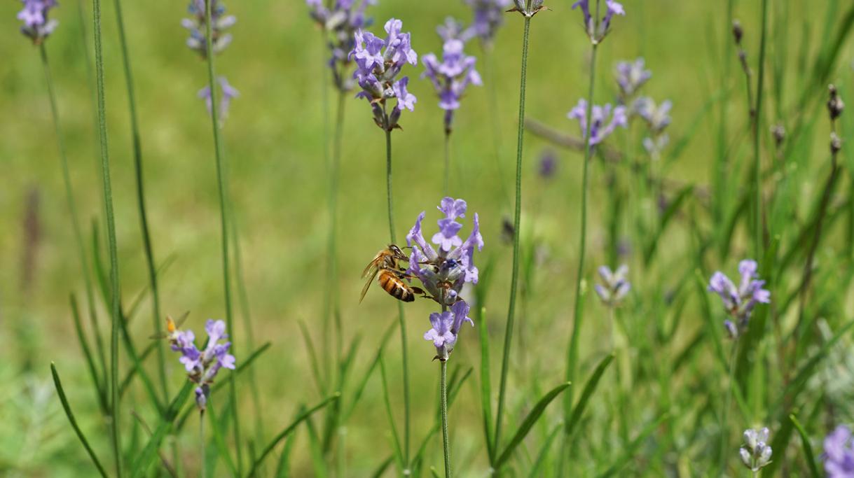 Dziedziniec ministerstwa - pszczoła na kwiatach lawendy
