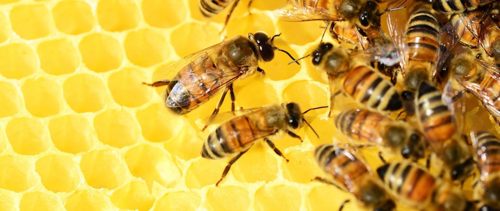Na zdjęciu znajduje się plaster miodu, po którym chodzą pszczoły.