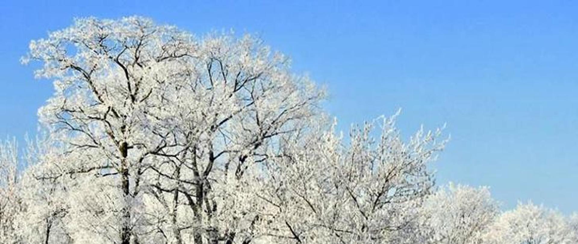 Na zdjęciu widać oszronioną koronę drzewa. W tle błękitne niebo.