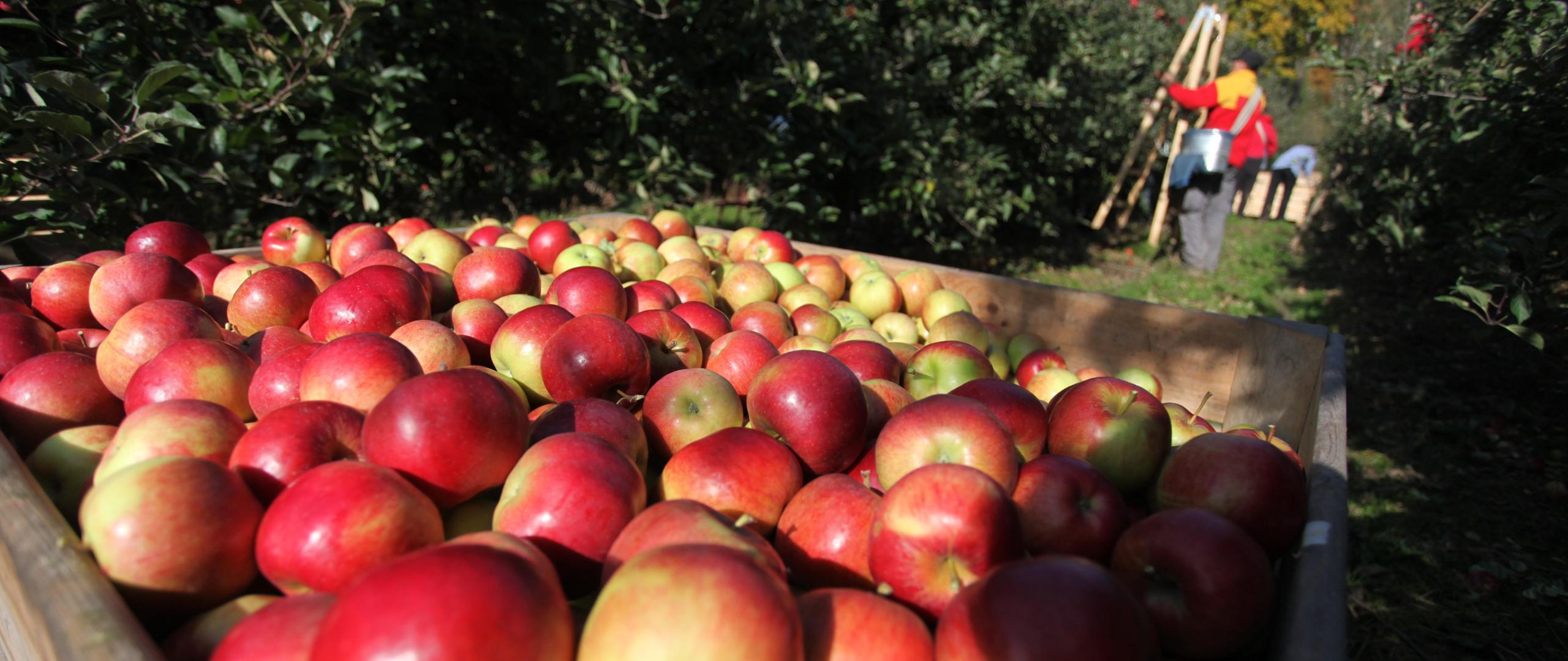 Tajlandia nowym kierunkiem eksportu polskich jabłek