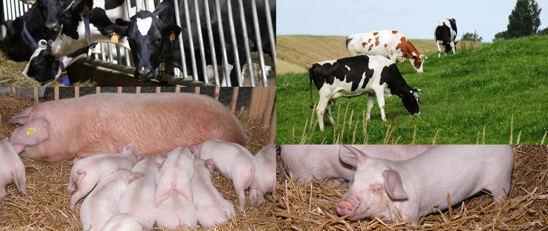 Dodatkowe wsparcie dla hodowców krów i świń - dzisiejsze decyzje Rady Ministrów