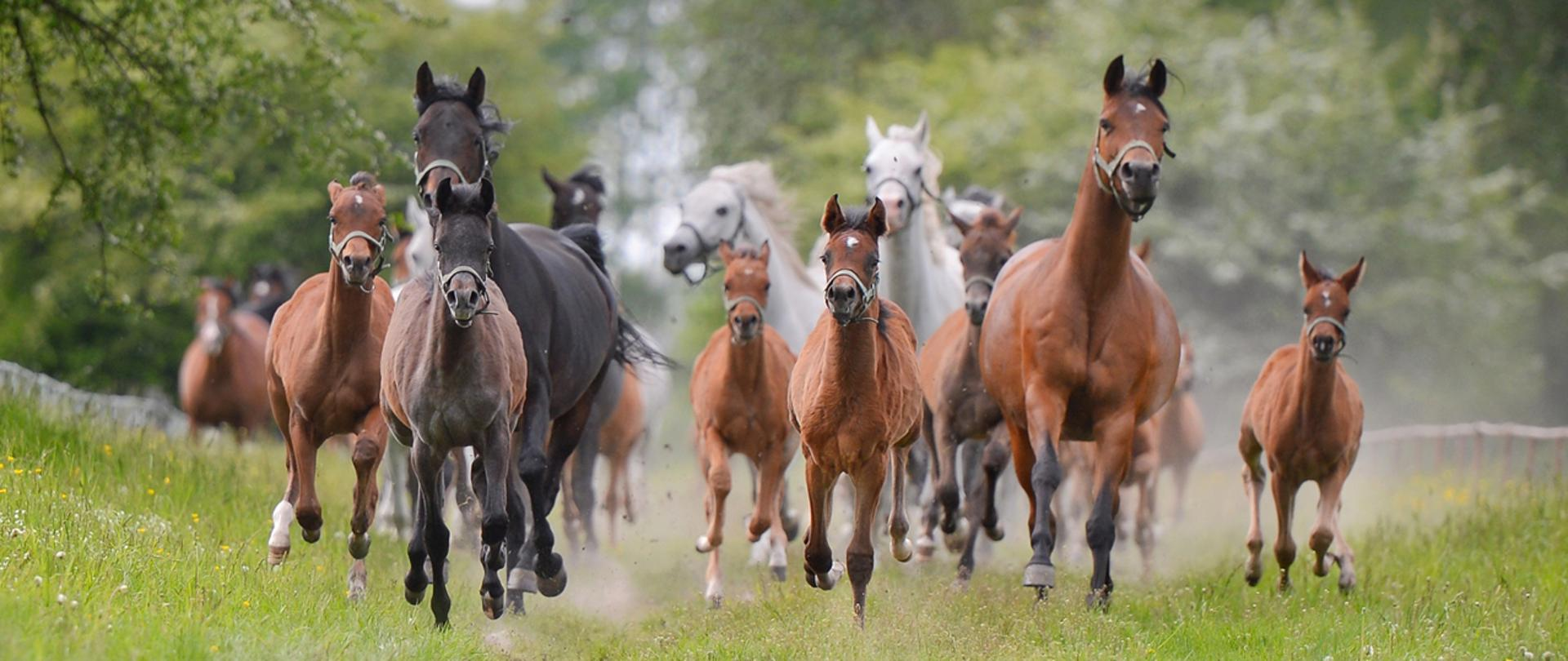 Polskie konie arabskie mają się dobrze